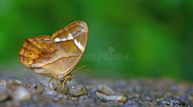Красивая заклеймленная бабочка, красным Forester, minerva Lethe стоковая фотография rf