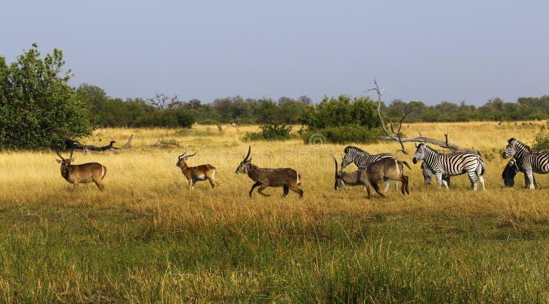 Красивая зебра Waterbucks и Burchell на африканских равнинах стоковое фото rf