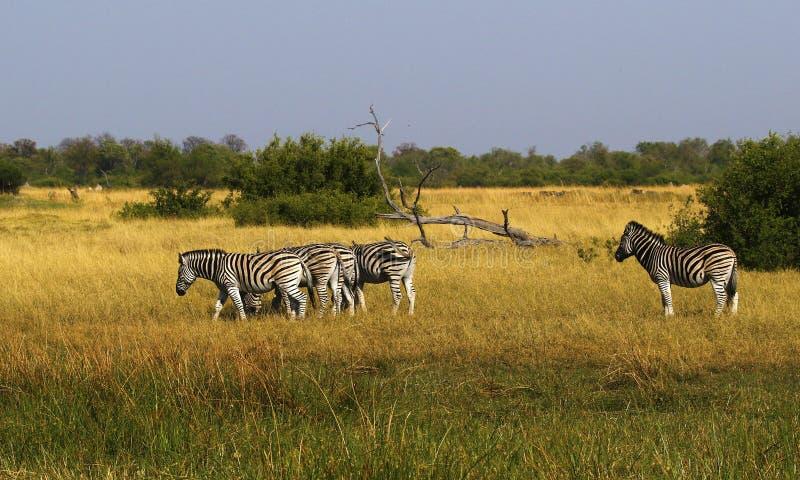 Красивая зебра Waterbucks и Burchell на африканских равнинах стоковые изображения