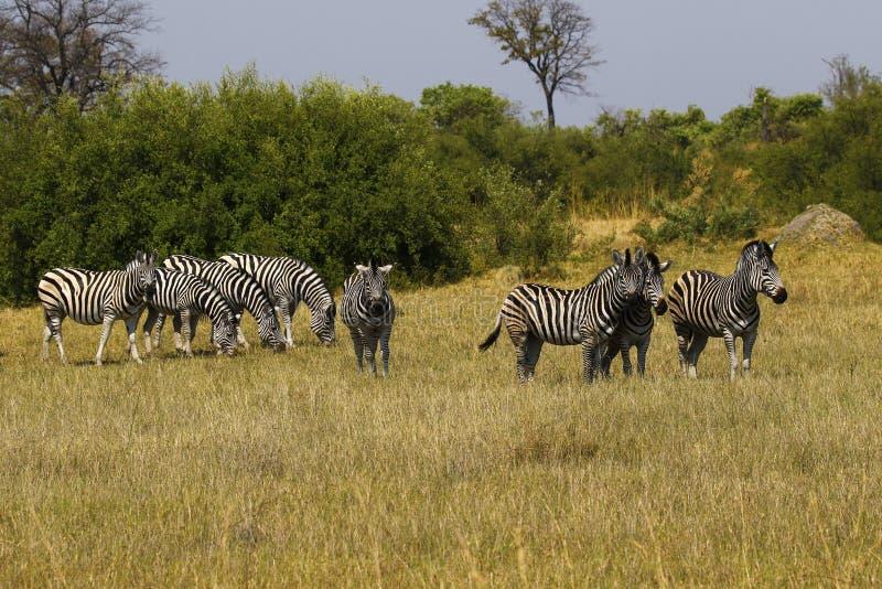 Красивая зебра Waterbucks и Burchell на африканских равнинах стоковые фотографии rf