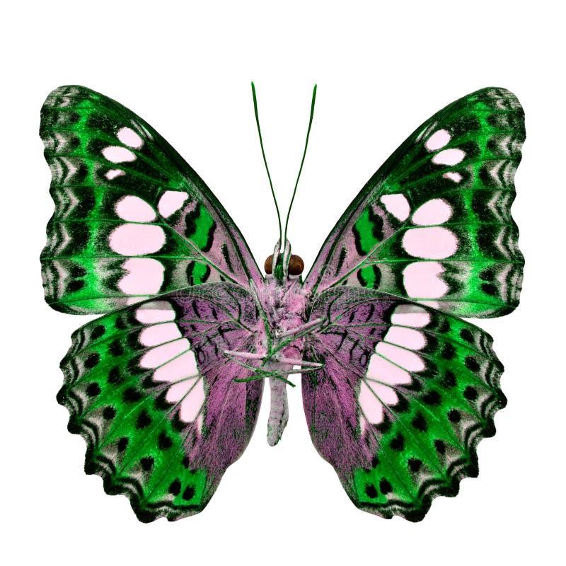 Красивая зеленая бабочка, общий командир (procris moduza) под крыльями в профиле цвета fancyl изолированными на белой предпосылке стоковое фото rf