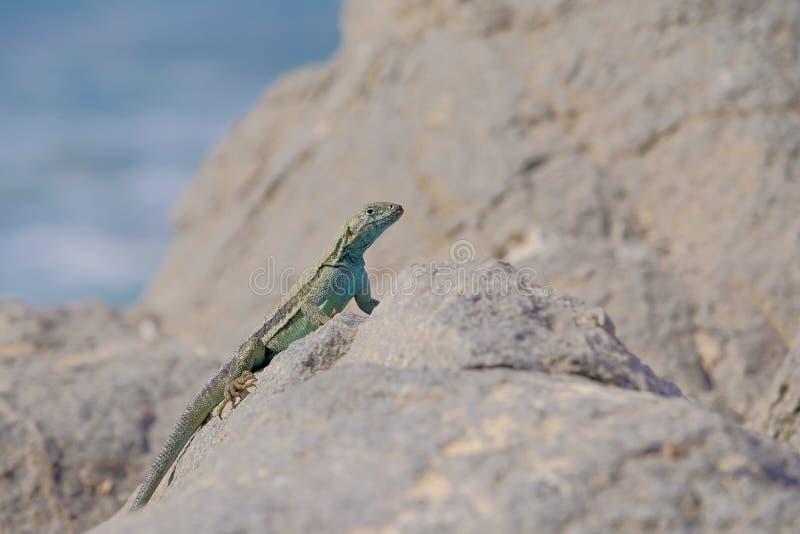 Красивая зеленая голубая ящерица бирюзы, Тихоокеанское побережье, пустыня Atacama, северная Чили стоковое изображение rf
