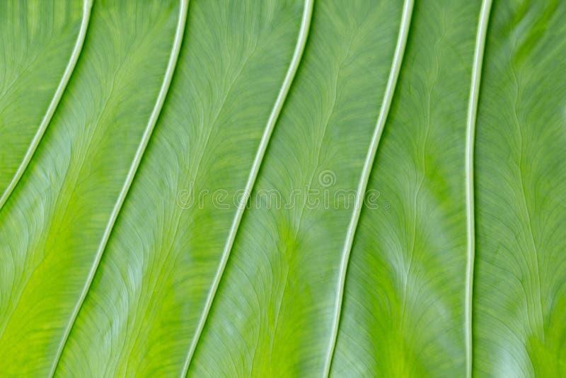 Красивая зеленая предпосылка лист с вертикальными толстыми венами Неровная яркая структура текстуры и листьев Естественная тексту стоковое изображение rf
