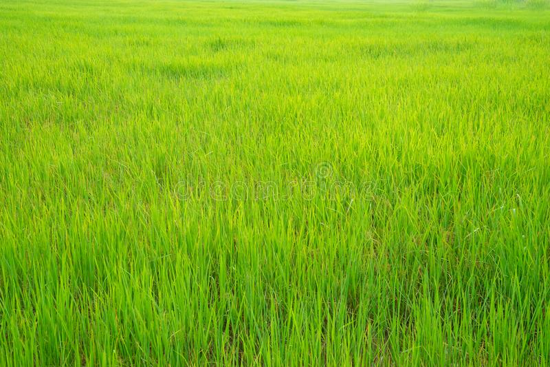 Красивая зеленая предпосылка поля неочищенных рисов стоковые фотографии rf