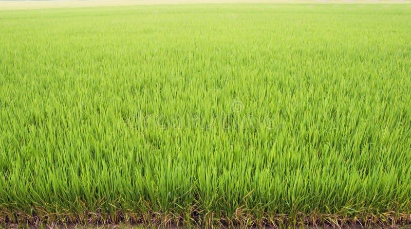Красивая зеленая предпосылка поля риса стоковые изображения rf