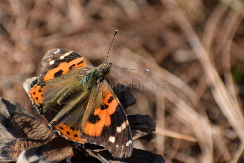 Красивая индийская бабочка vanessa красного адмирала indica стоковое фото