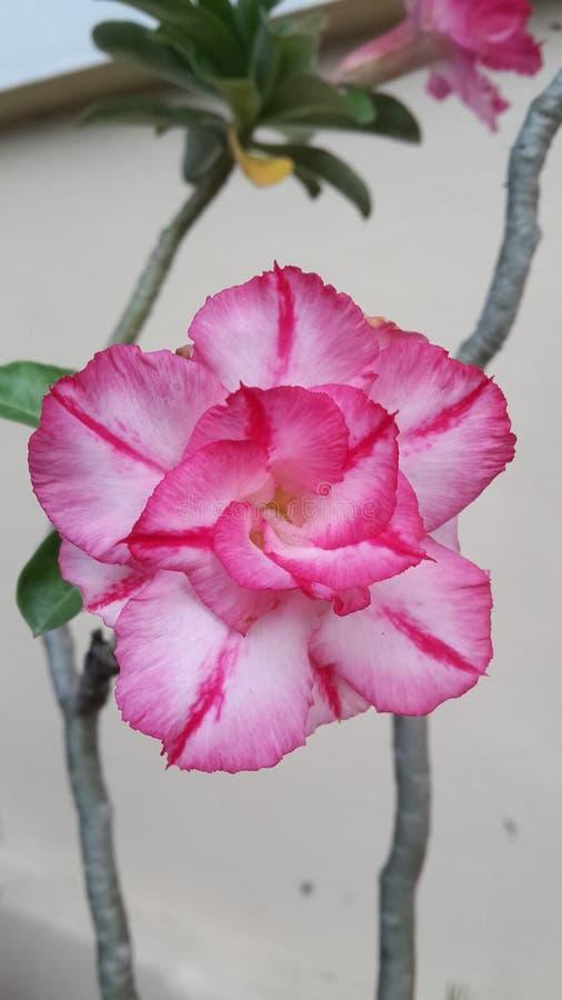 Download Красивая лилия импалы стоковое изображение. изображение насчитывающей цветасто - 81802415