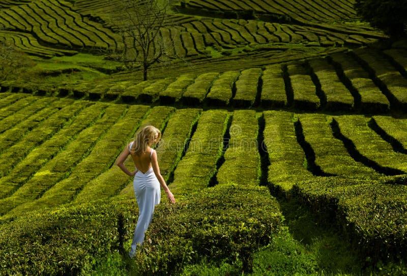 Красивая и сексуальная белокурая женщина в белом длинном платье идет вдоль плантации зеленого чая стоковое фото rf