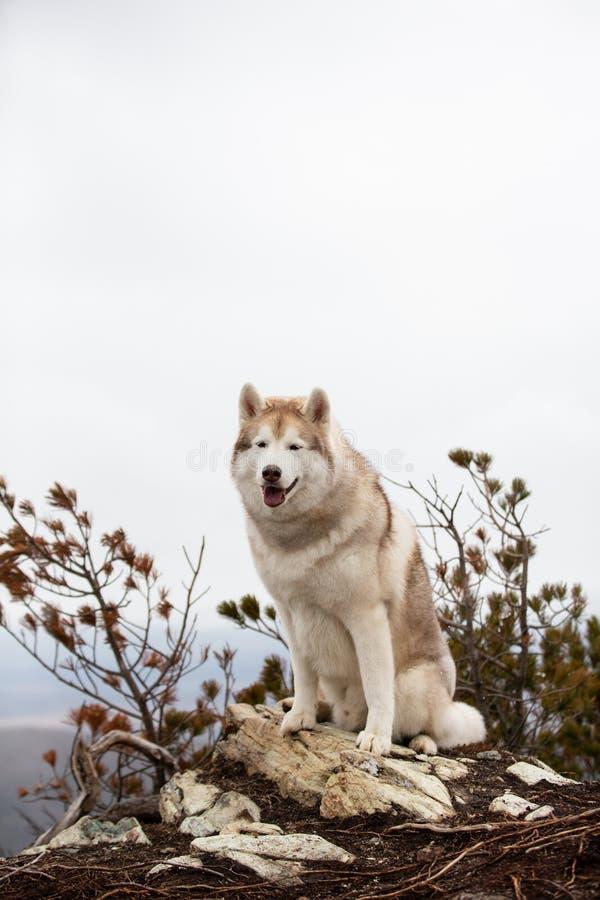 Красивая и счастливая бежевая и белая сибирская сиплая собака сидя на горе Собака на естественной предпосылке стоковая фотография rf