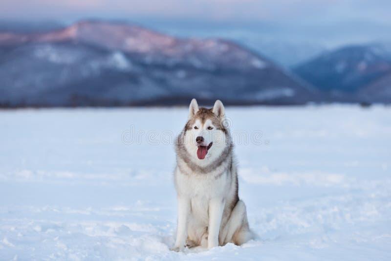 Красивая и prideful сибирская сиплая собака сидя в поле снега в зиме стоковая фотография rf