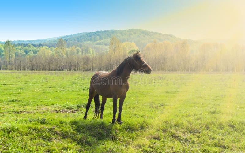 Красивая коричневая лошадь стоя самостоятельно на зеленом поле в солнечном летнем дне стоковая фотография rf
