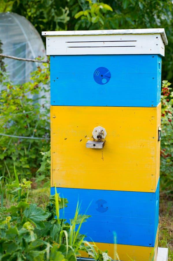 Красивая крапивница пчел с желт-голубой краской Пчелы приносят цветень к стоковые фотографии rf