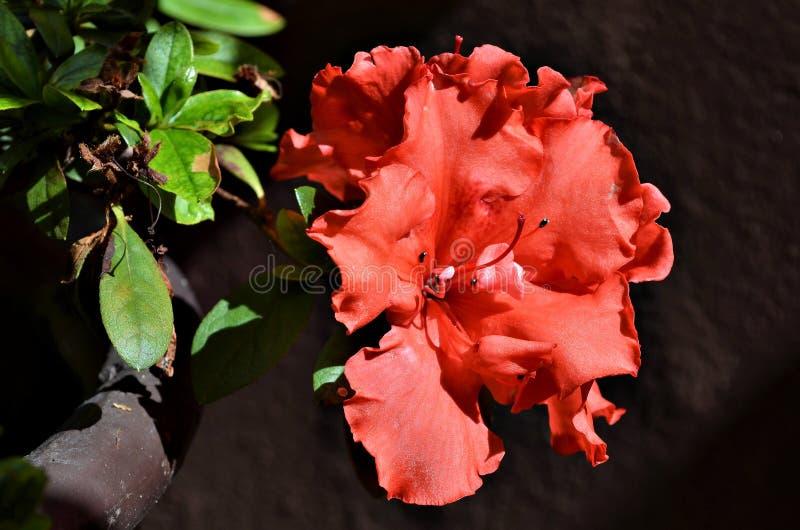 Красивая красная азалия стоковое изображение rf