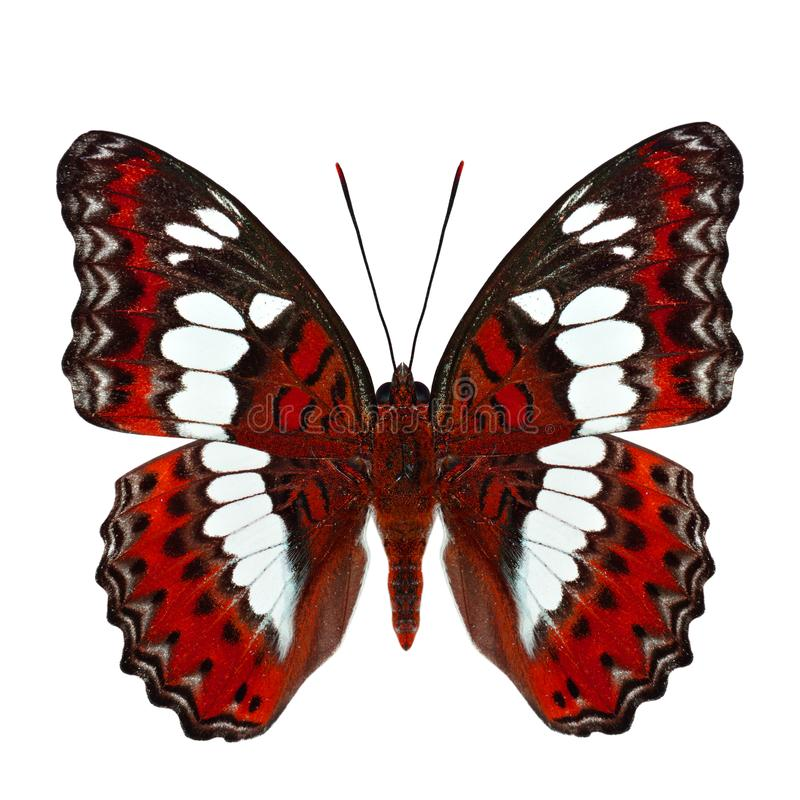 Красивая красная бабочка, общий командир (procris moduza) вниз стоковые изображения rf