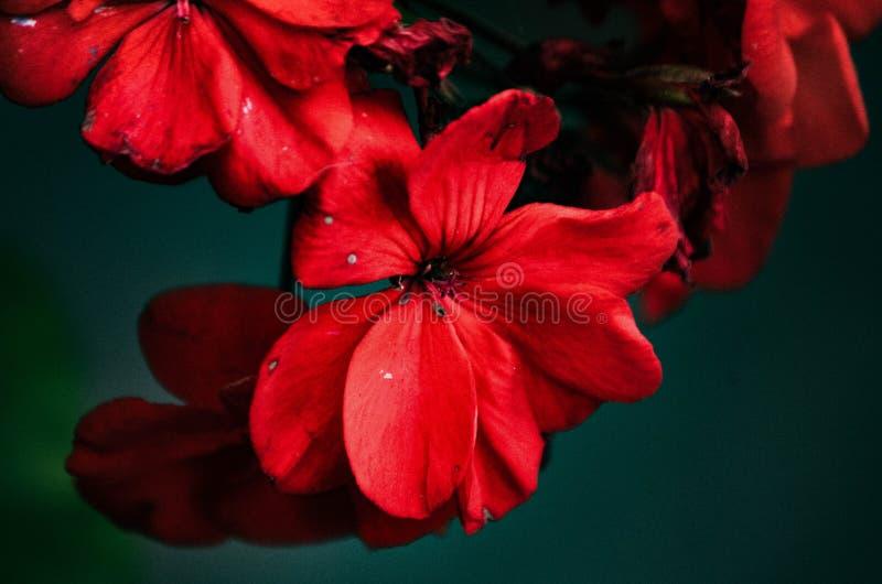 Красивая красная группа цветка стоковые фотографии rf