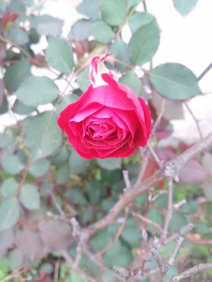 Красивая красная роза || Внушительный цветок в красном цвете стоковое изображение