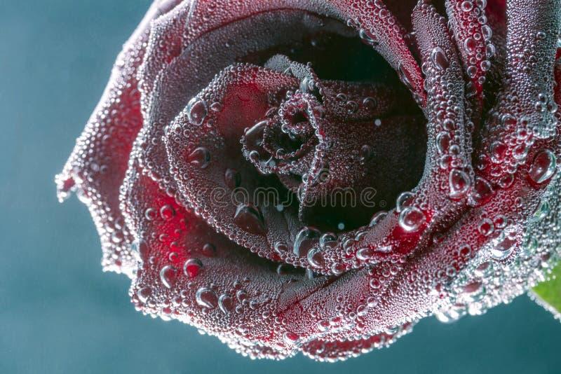 красивая красная роза в пузырях стоковая фотография