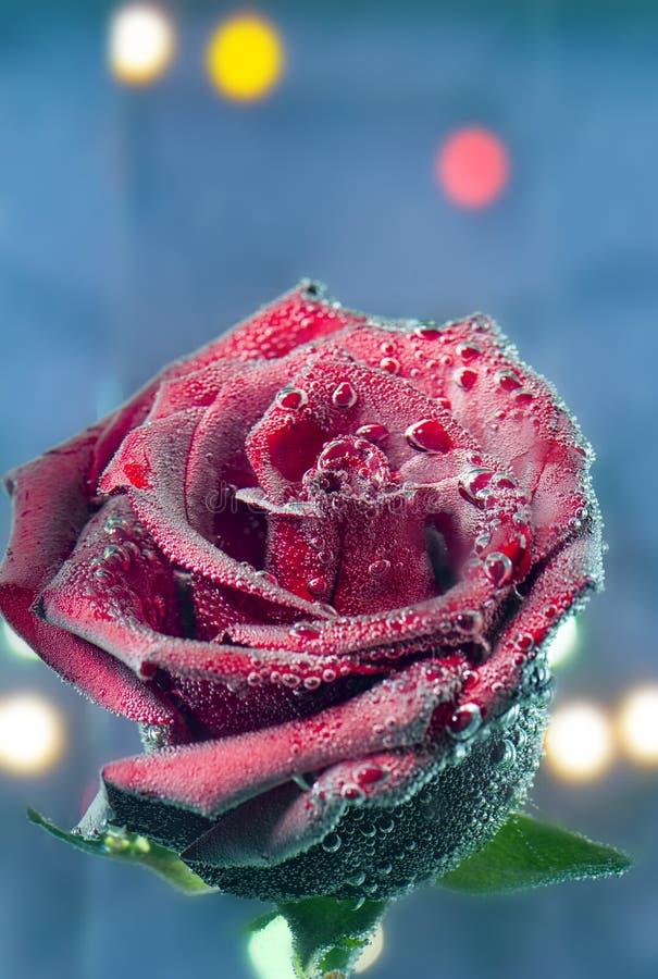 красивая красная роза в пузырях стоковые фотографии rf