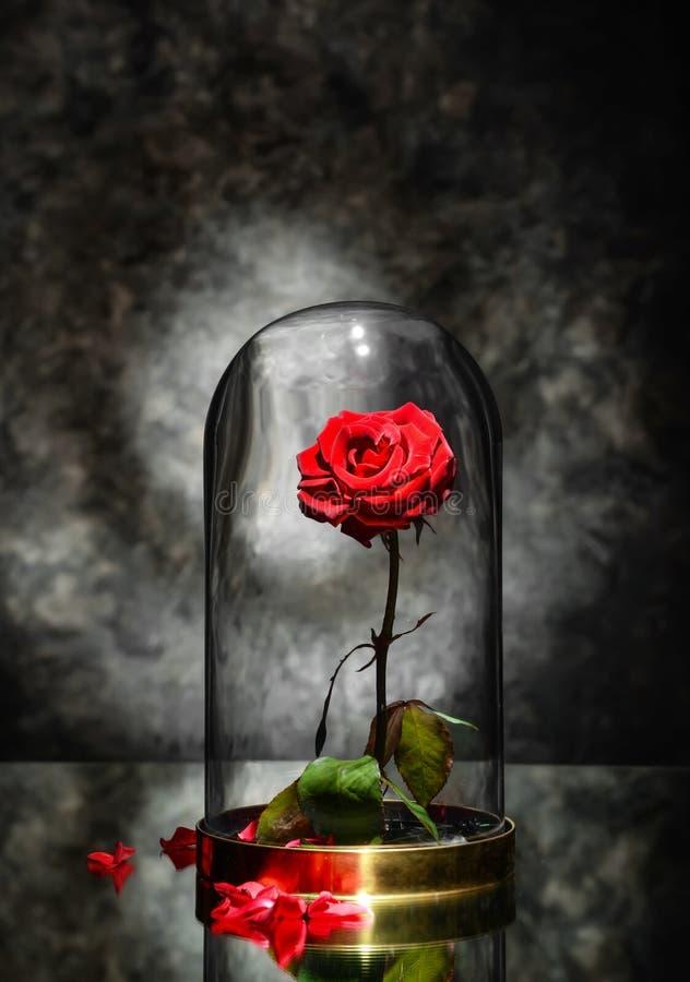 Красивая красная роза под стеклянной крышкой на таблице против темной серой предпосылки стоковые фото