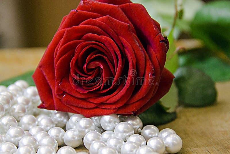 Красивая красная роза с жемчугом отбортовывает на бежевой предпосылке стоковое фото rf