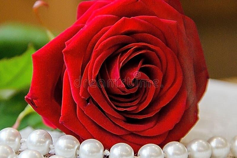 Красивая красная роза с жемчугом отбортовывает на бежевой предпосылке стоковые фото