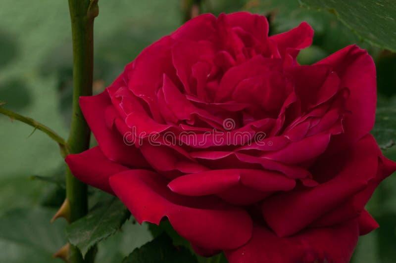 Красивая красная роза с зелеными листьями в природе ( стоковое фото