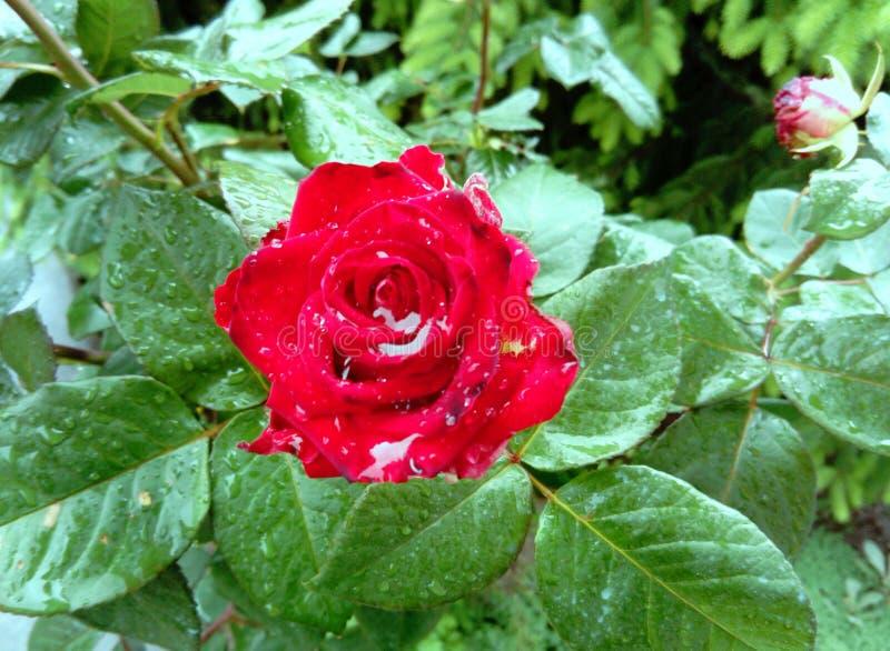 Красивая красная роза с падениями дождя стоковые изображения