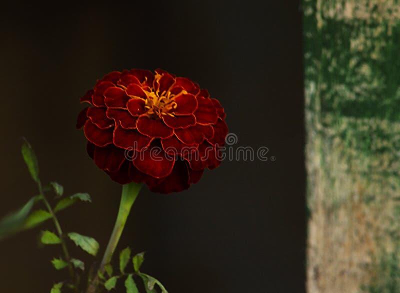 Красивая красная слуга цветка на темной предпосылке в темном ключе стоковое фото rf