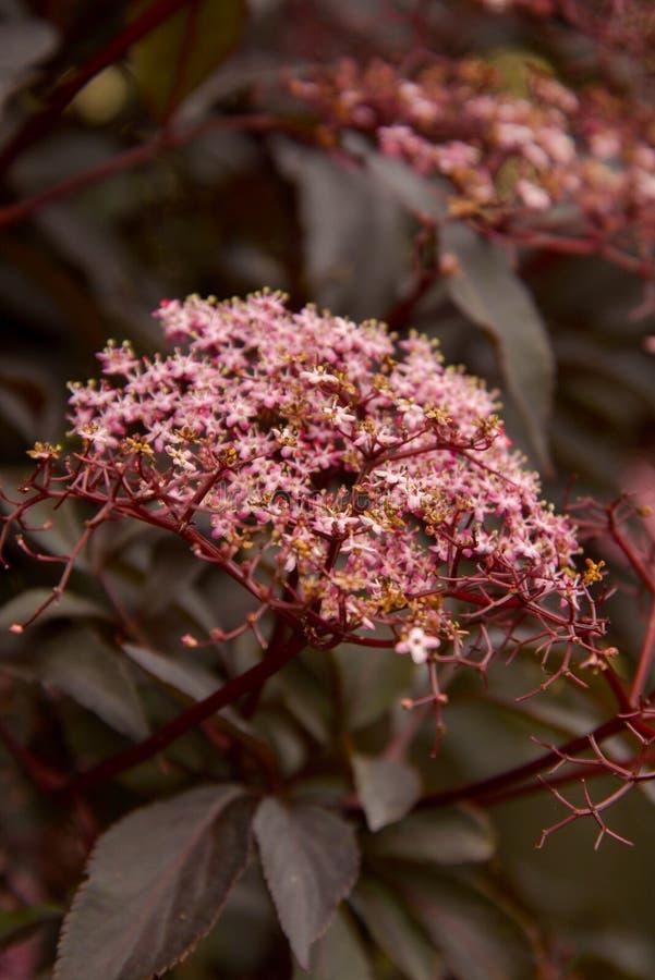 Красивая красная текстура дерева лист с зацветая цветками стоковое фото rf