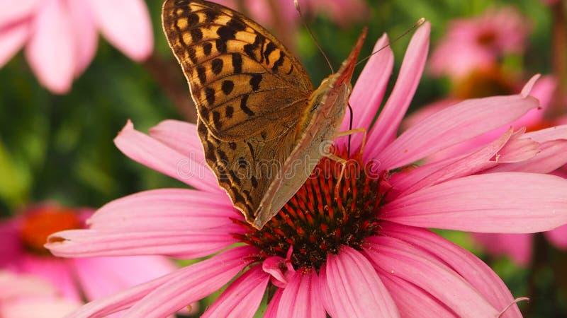 Красивая красочная бабочка на цветке стоковые фотографии rf