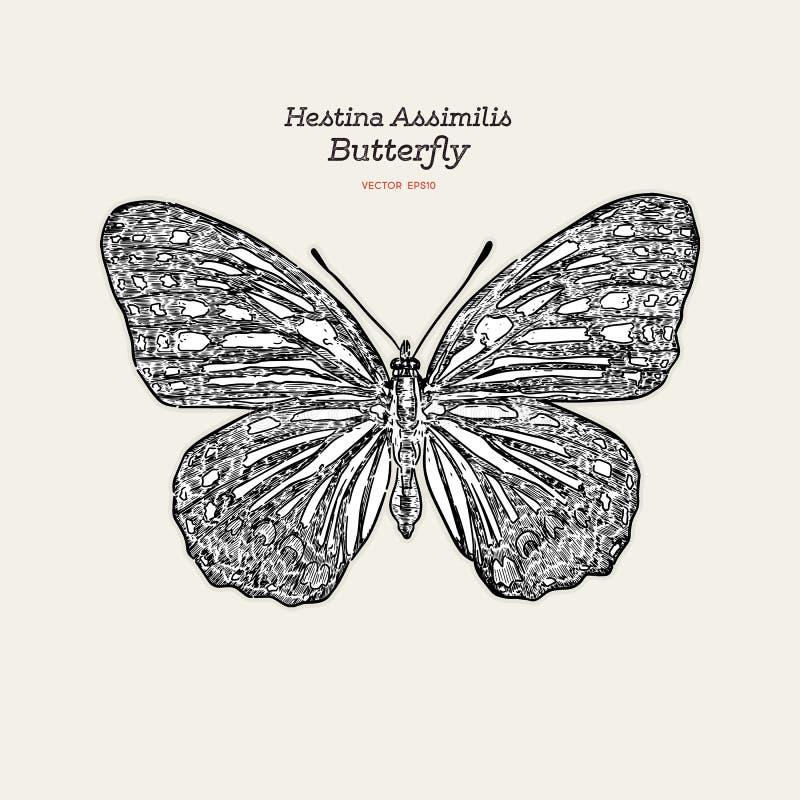 Красивая красочная бабочка Hestina Assimilis иллюстрация вектора