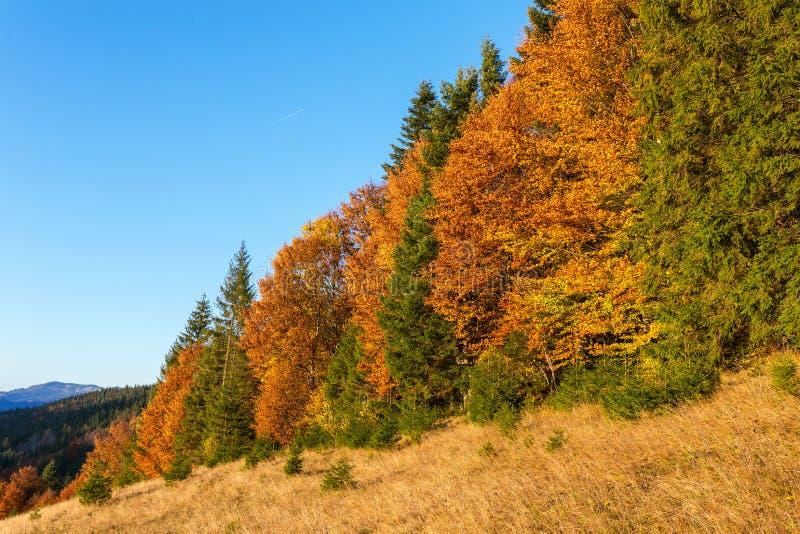 Красивая красочная сцена с деревьями осени в прикарпатских горах, Украина захода солнца стоковая фотография