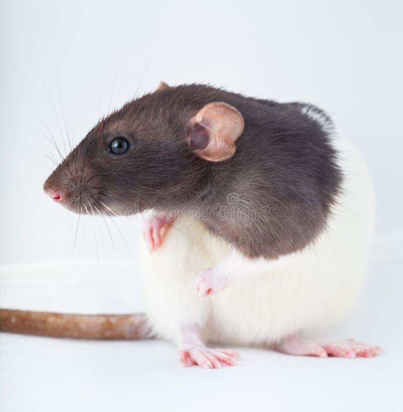 Красивая крыса с пятницами, домашняя крошка стоковое изображение rf