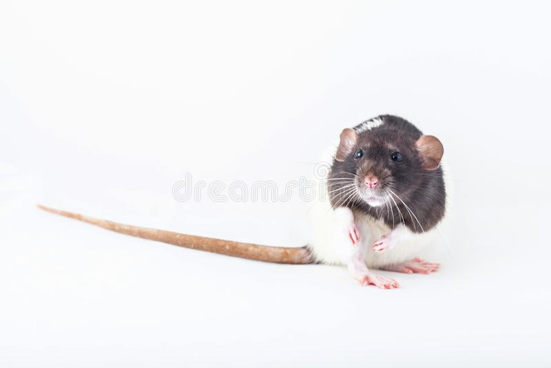 Красивая крыса с пятницами, домашняя крошка стоковая фотография rf