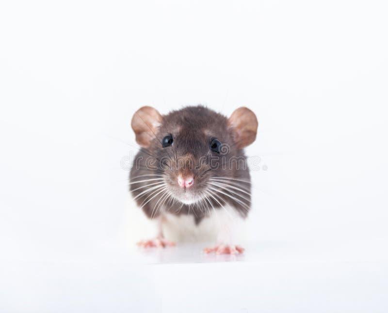 Красивая крыса с пятницами, домашняя крошка стоковая фотография