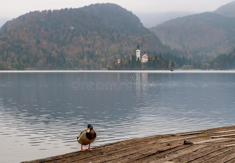 Красивая кряква с озером кровоточенным на заднем плане в осени, Словении стоковые изображения