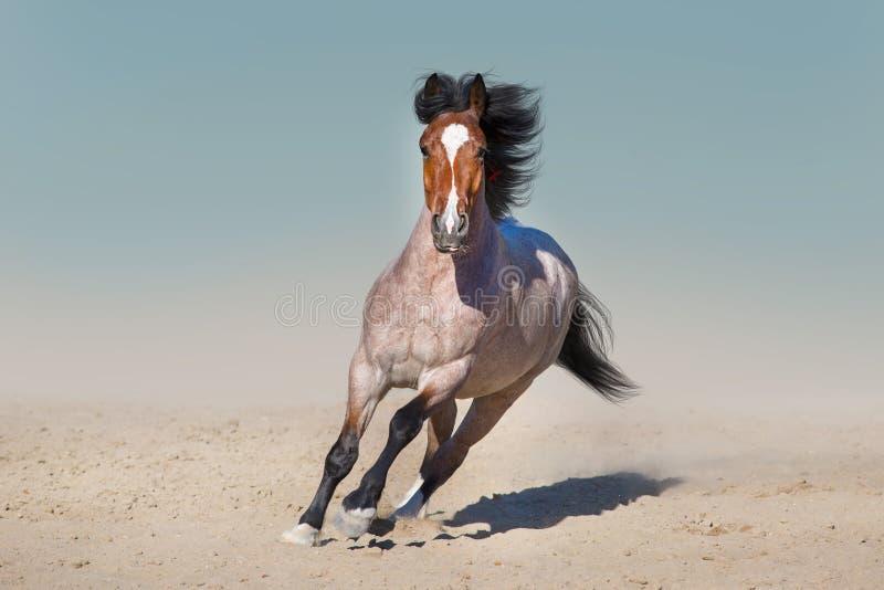 Красивая лошадь, который побежали в пустыне стоковое фото rf