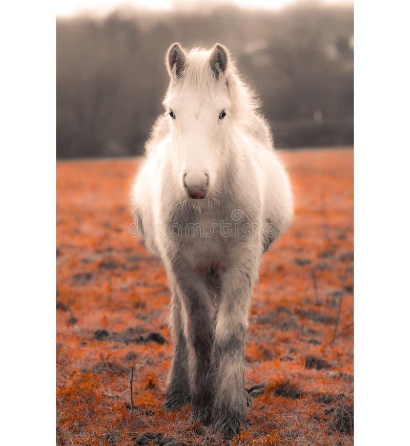 Красивая мечтательная белая лошадь стоковые изображения rf