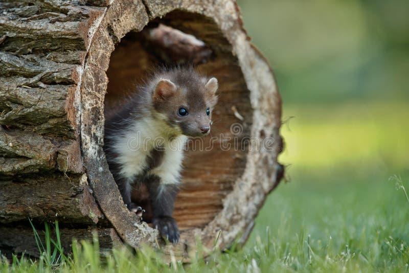 Красивая милая куница бука, животное леса, foina Martes стоковое фото