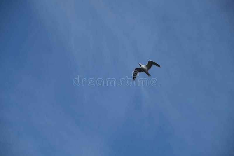 Красивая ныряя чайка в голубом небе стоковое фото rf
