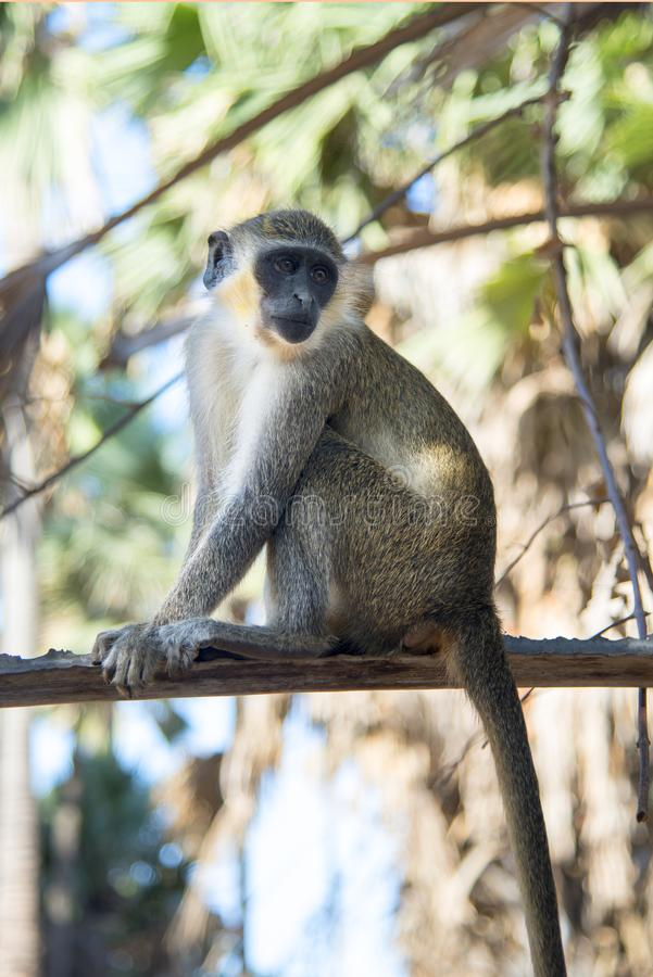 Красивая обезьяна сидит на бдительности в дереве в деревне в Гамбии стоковая фотография rf