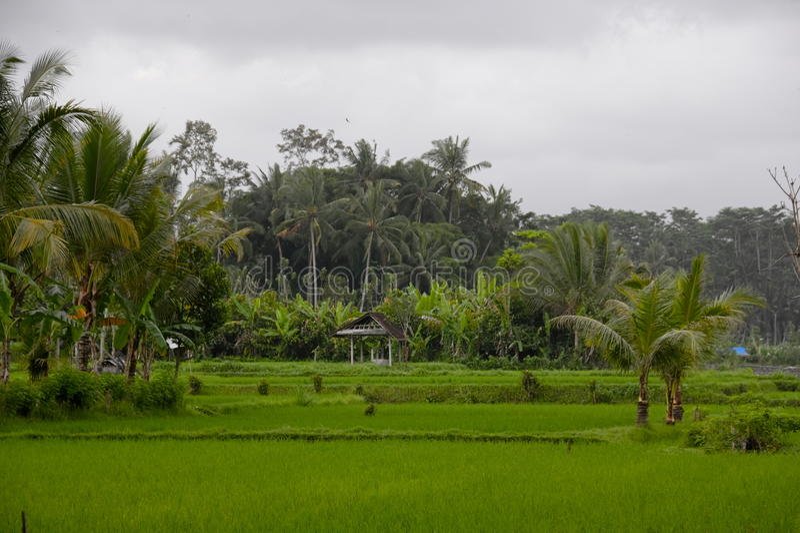 Красивая обрабатываемая земля риса на Бали, Индонезии стоковые изображения