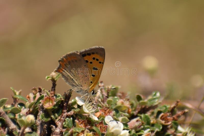 Красивая общая медная бабочка phlaeas голубянок стоковая фотография rf