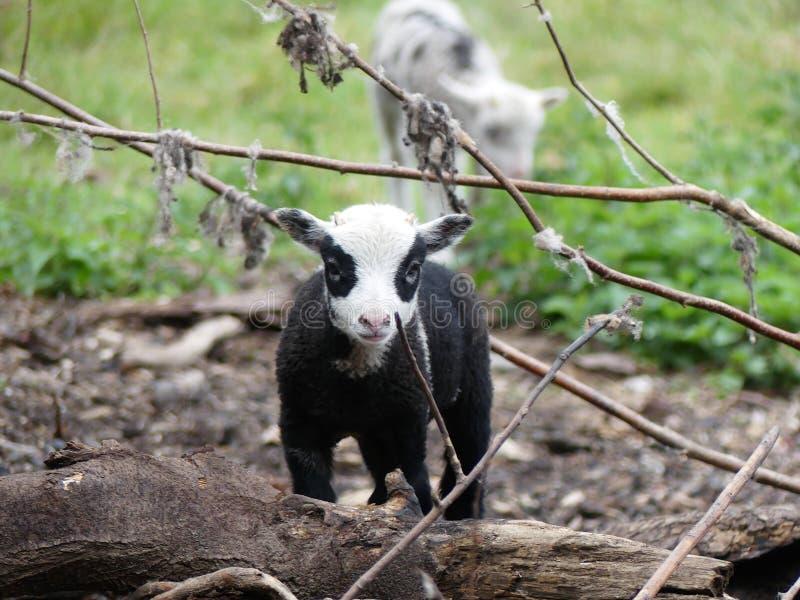 Красивая овечка с черным телом, белой головой и черными окружающими глазами стоковое фото