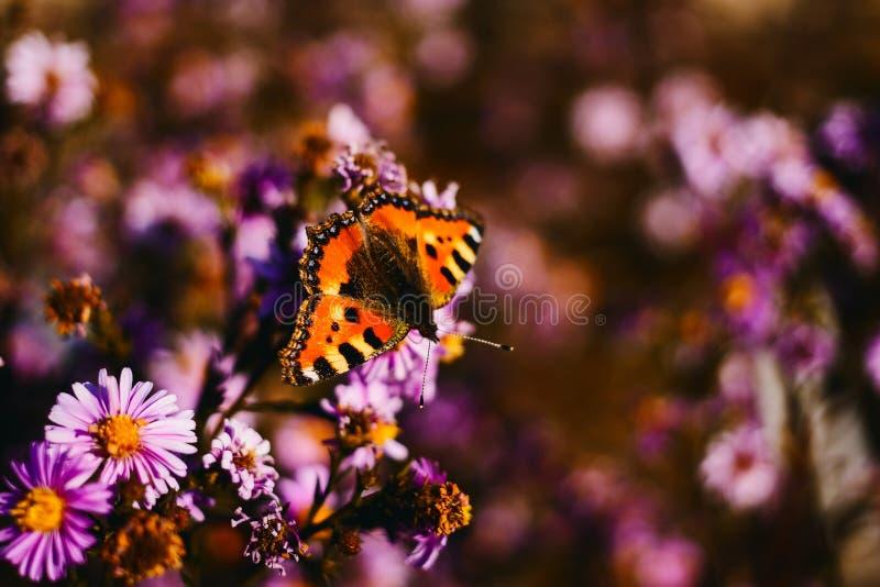 Красивая оранжевая бабочка на цветке стоковая фотография rf