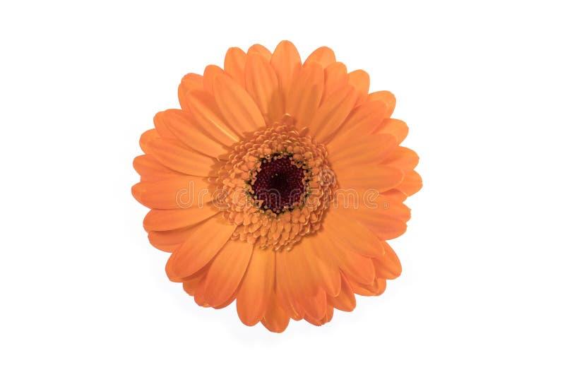 Красивая оранжевая маргаритка на белизне стоковое изображение