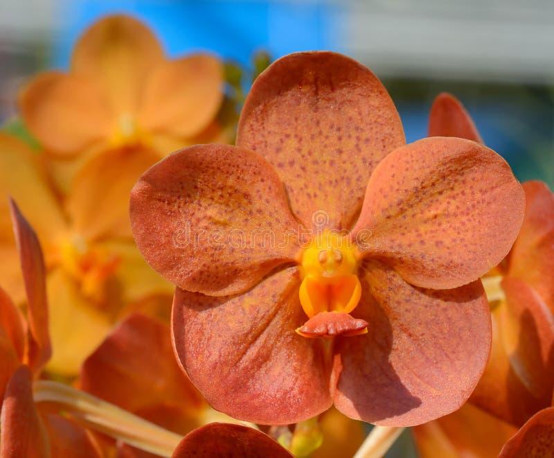 Красивая оранжевая орхидея стоковая фотография rf