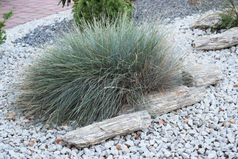 Красивая орнаментальная трава в саде с камнями стоковое изображение