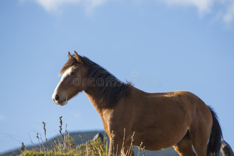Красивая отечественная лошадь на Laguna Mucubaji, положении Мериды стоковое изображение