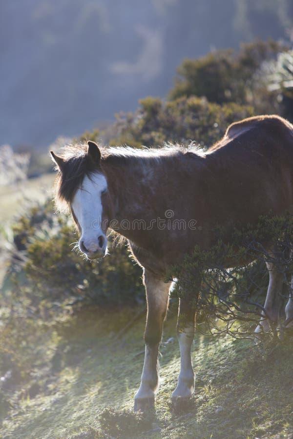 Красивая отечественная лошадь на Laguna Mucubaji, положении Мериды стоковые изображения rf